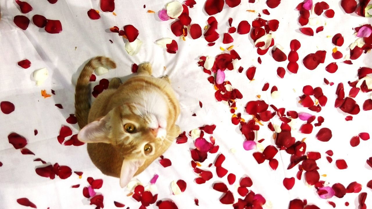 Cat Lovers Cateyes White Background Pet Photography  Cat Eyes Cat Watching Colours Petals🌸 Petlover No Person Eye Em Photography Rose Petals Rose - Flower Roses World 🌹❤️🌹 Colourful Petals The Week On EyeEem