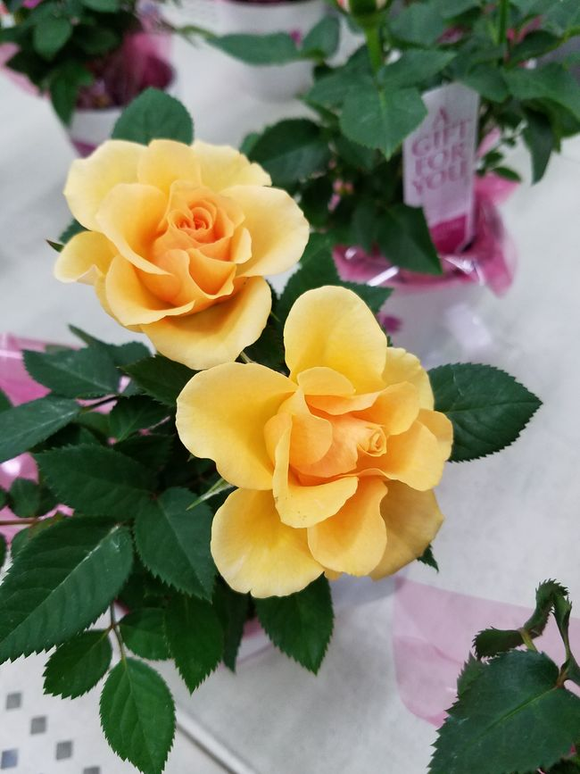 Yellow baby roses Yellow Roses Bloomimg Ujustgotkaied Nature Petals Flowers