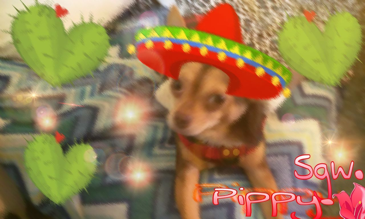 Pippy Festval Colors. Chihuahua. Colors Of Carnival Expession