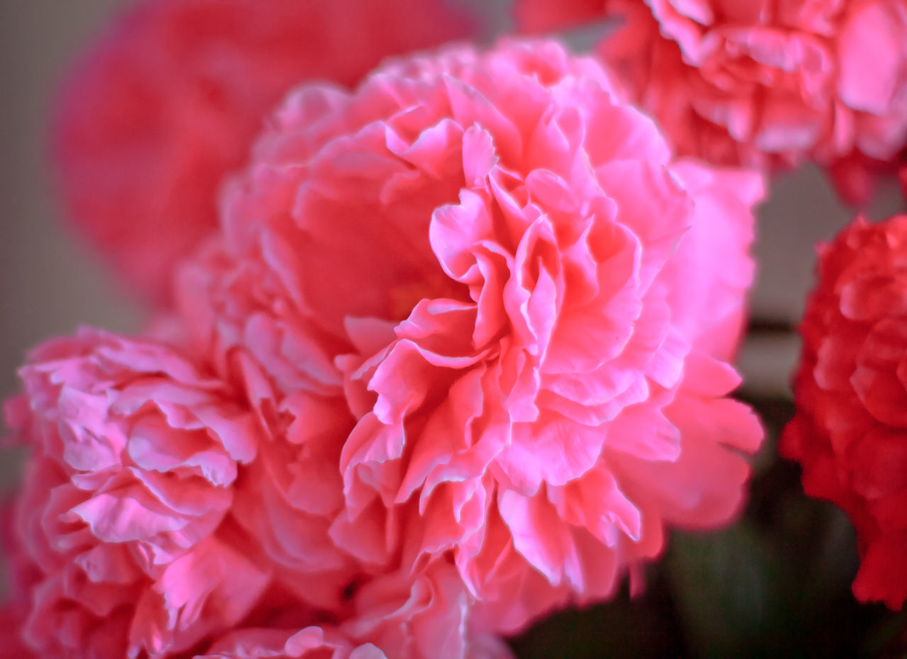 Beauty In Nature Blooming Close-up Flower Flower Head Fragility Freshness Growth Nature No People Petal Pink Color Plant
