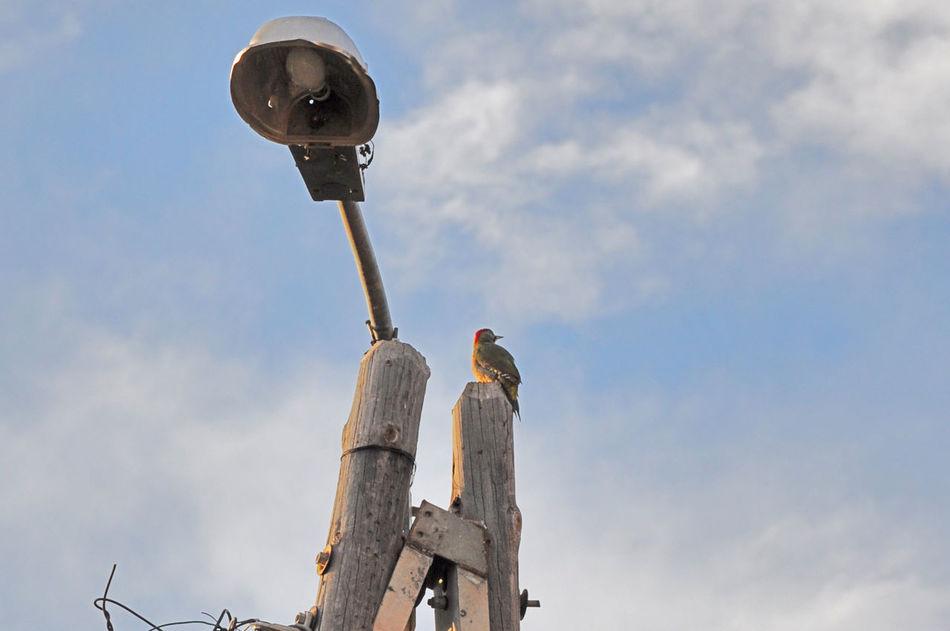 Art Bird Bird Photography Birds Birds Of EyeEm  Cloud - Sky Outdoors Picchio Verde Sky Wildlife Woodpecker Woodpeckers