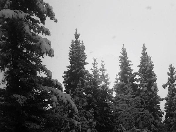Trees snow Alaska backyard