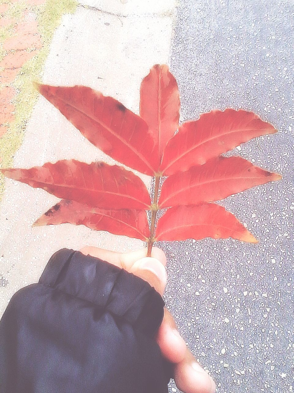 human hand, human body part, one person, real people, human finger, leaf, holding, unrecognizable person, outdoors, personal perspective, day, autumn, lifestyles, high angle view, maple leaf, close-up, nature, leisure activity, fragility, men, palm, beauty in nature, maple, flower head, people