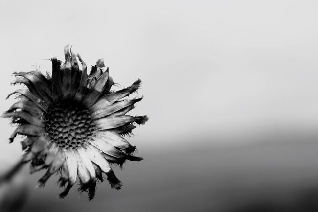 Monochrome Photography Wabi sabi - seeing beauty in things imperfect, impermanent, decaying. Wabi-sabi Faded Flower Minimalism Minimalobsession Flower Blackandwhite Photography Monochrome Minimalist Nature No People