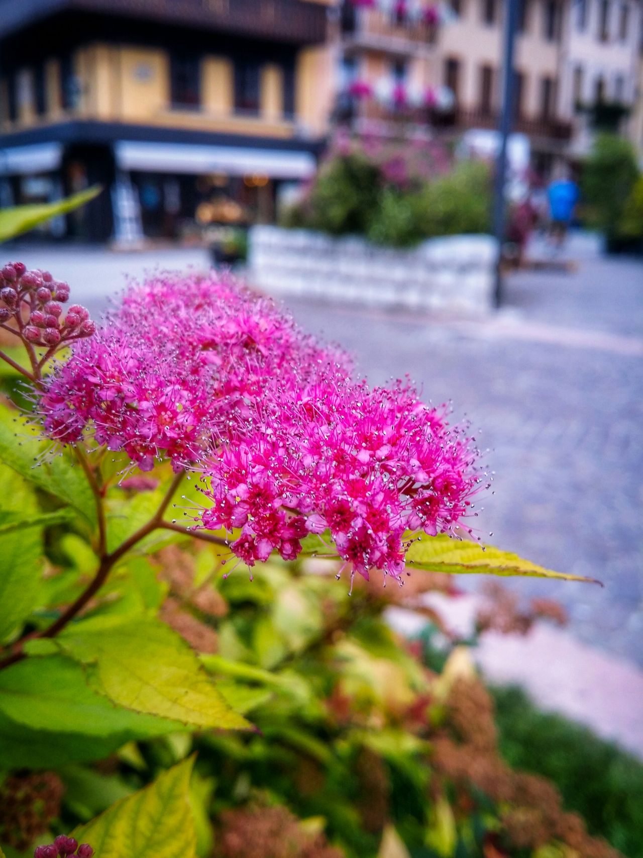Asiago Vicenza Veneto Italy Travel Photography Travel Voyage Traveling Mobile Photography Fine Art Photography Close-up Flowers Flower Patterns Selective Focus