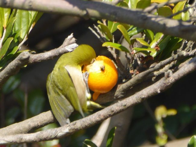 メジロ Tadda Community 野鳥 Bird