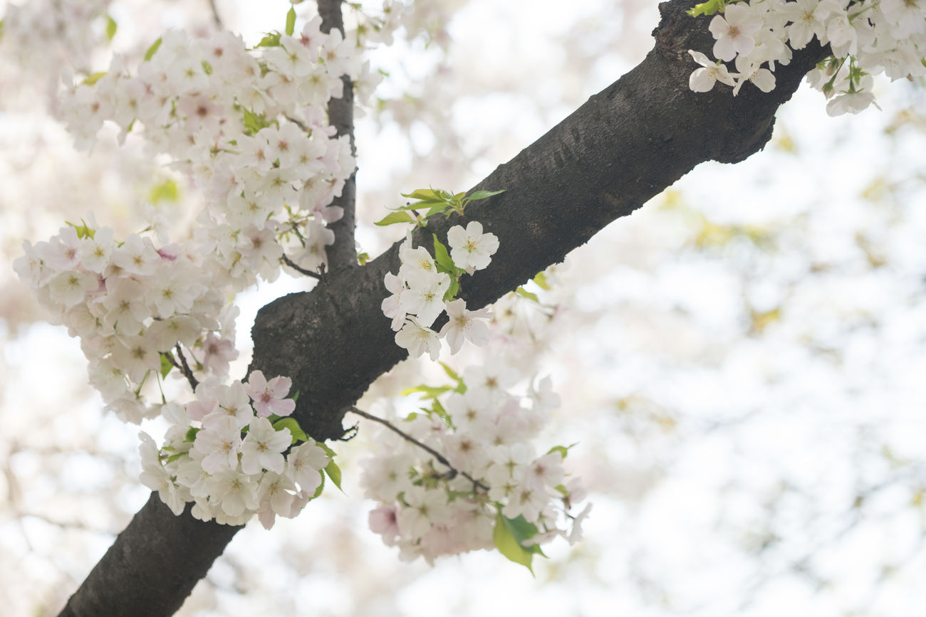 White Sakura in Chidorigafuchi Park Beauty In Nature Blossom Branch Cherry Blossoms Close-up Day Flower Flower Head Fragility Freshness Growth Japan Japan Photography Japanese  Nature No People Outdoors Sakura Sky Springtime Tree Twig Wedding White Color