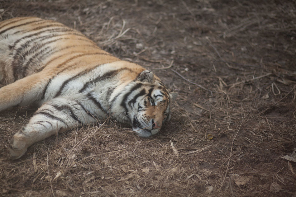 Beautiful stock photos of tiger, Animal, Animal Themes, Animals In The Wild, Day