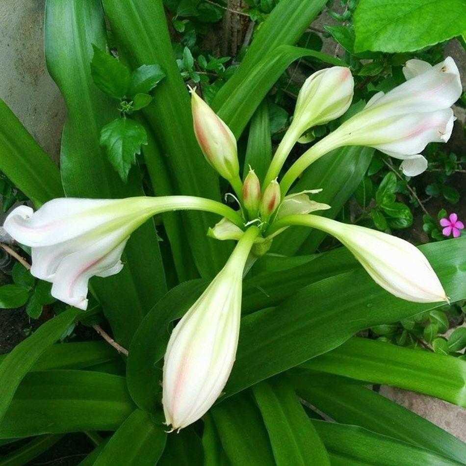 Lily Homegarden Ahmedabad India Flowers Instaflower Instagardenlover Nexus5 Nexus5photography Plant_addiction Plant