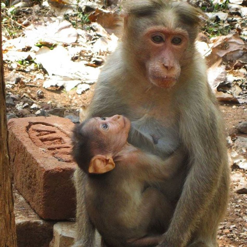 Wildlife click from Kovaikutralam Canon 12MP Monkey Wild Mother Child Live Care Beauty Innocence Eyes Animals Dayout Friends Unexpected Surprise Poser : Sreeni
