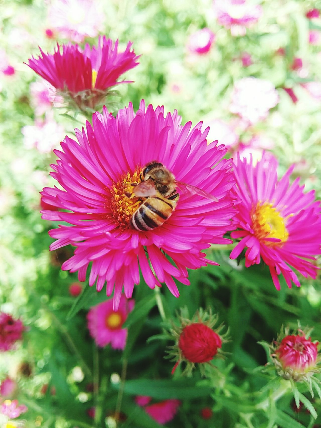 Daisy Pink Daisy Pink Flower Pink Flower