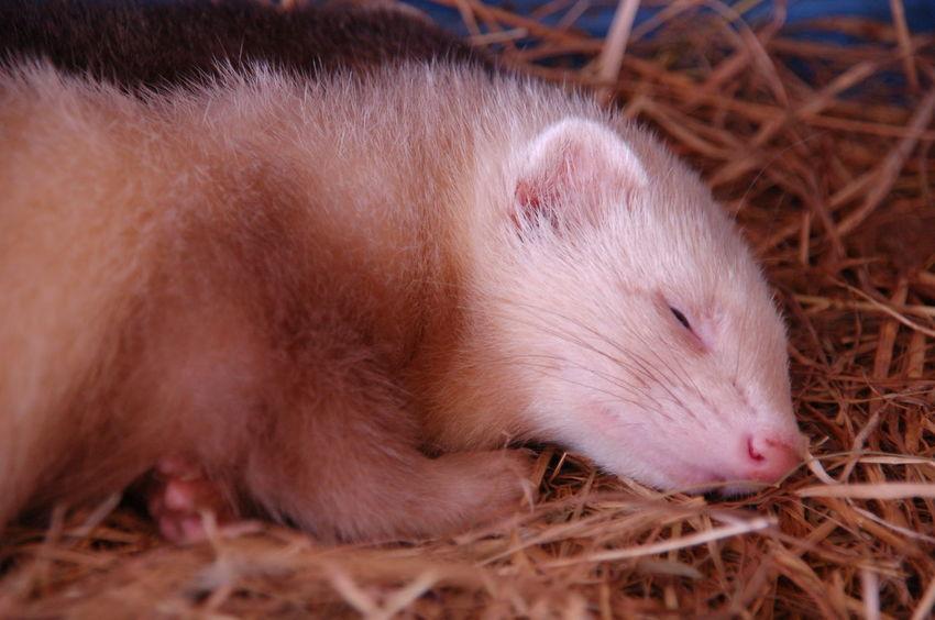 Ferret Animal Themes Baby Ferret Cute Domestic Animals Mammal One Animal Pets Sleeping Ferret