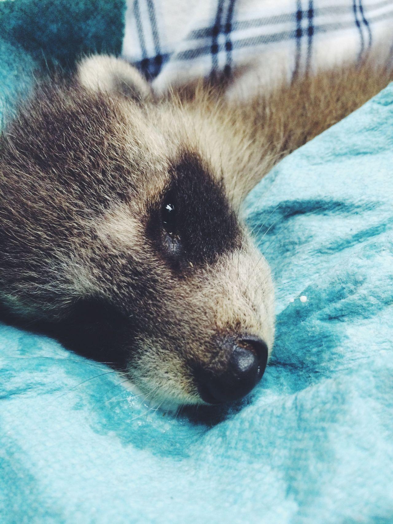 Baby Racoon Racoon Baby Baby Raccoons Nature Wildlife
