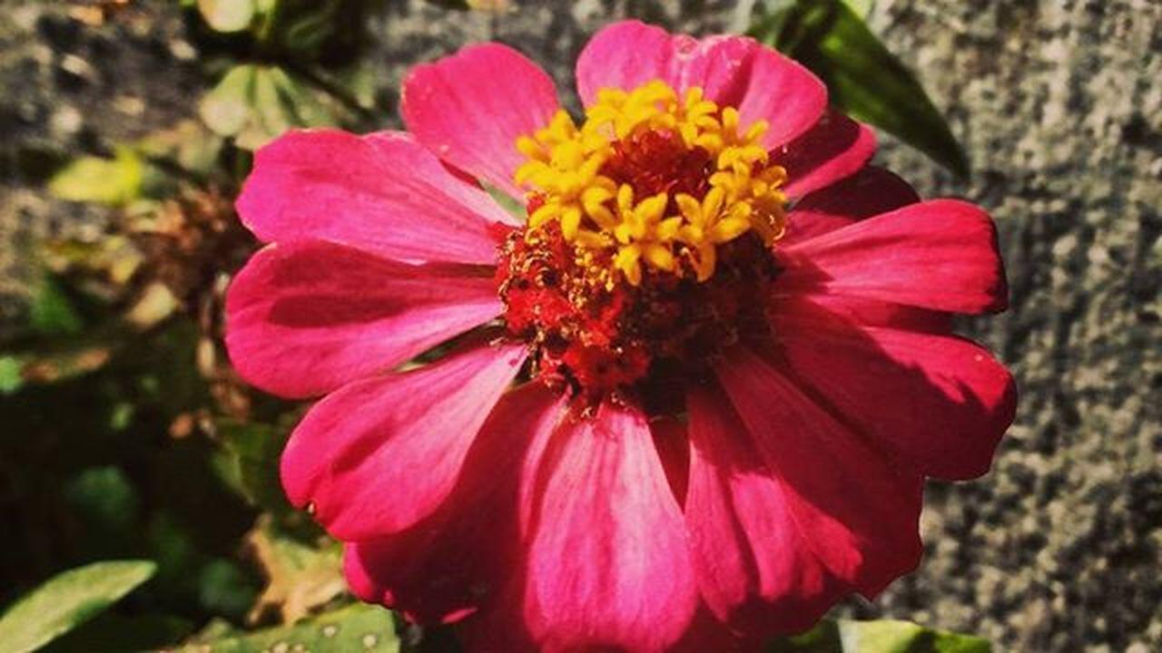 Flowers Flor Flower Rosa Naturelover Natureza Peace Photooftheday Photo Photography Instagram Brasildosmeusolhos_ Tagsforlikes Tags Follwme Jardim Colorida Coresdanatureza Naturezalinda Foto Fotografia Quatroestaçoes Brflora