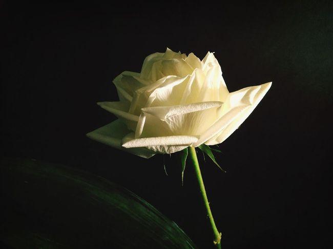 Come una rosa... Flower Power TheMinimals (less Edit Juxt Photography) Light