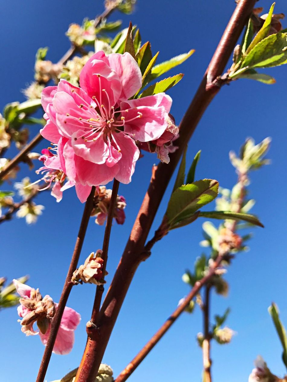 Art Is Everywhere Flower Growth Fragility Beauty In Nature Nature Freshness Flower Head Petal Day No People Low Angle View Blooming Outdoors Blossom Clear Sky Springtime Plant Branch Pink Color Close-up Ferron Utah Emery County Outdoor Photography