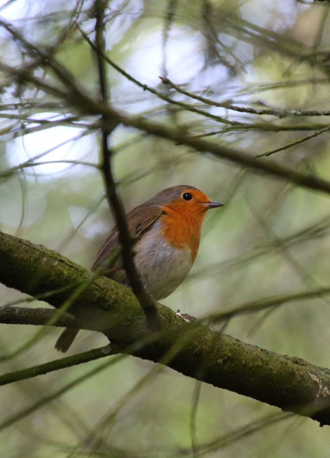 Guarding his territory. If only all guardians sang so sweetly. Bird Robin Animals In The Wild Perching Branch Nature Close-up