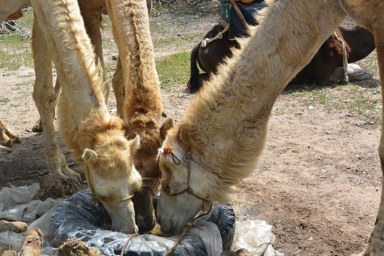 Beautiful stock photos of camel, Animal Themes, Camel, Day, Domestic Animals