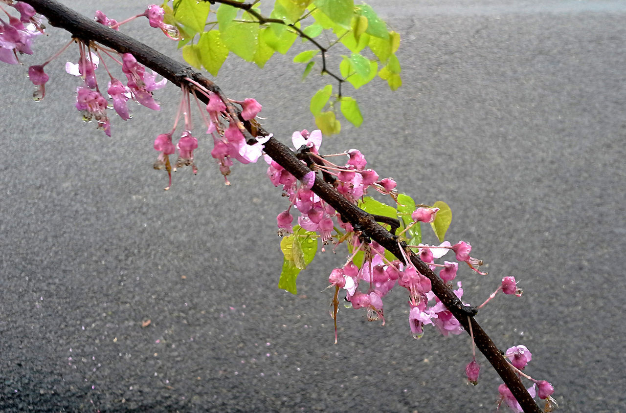 An Eastern Redbud tree branch with both pink blossoms and green leaves is wet from the rain in the Texas spring. Arching Arching Trees Blooms Branch Flowers Fuschia Gray Background Green Color Leaves Nature Pink Color Pink Flower Raindrops Redbud Redbuds In Spring Simple Beauty Spring Tree Water Drops