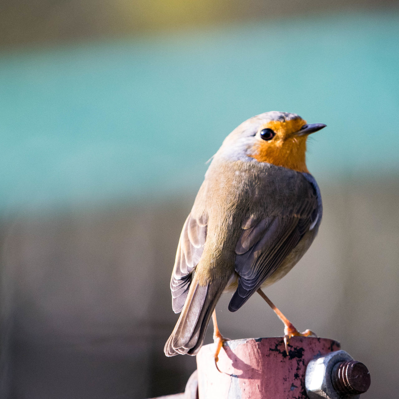 Animal Themes Animal Wildlife Animals In The Wild Bird Close-up Day European Robin ( Erithacus Rubecula) Focus On Foreground Nature No People One Animal Outdoors Perching Robin Robin Redbreast Rotkehlchen