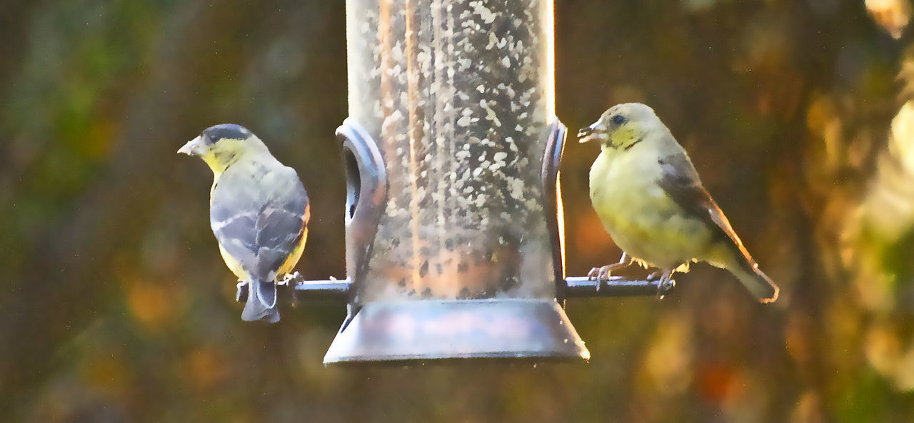Bird Bird Series Feeder Filtered Image Finches Outdoors Perching Rich Colours