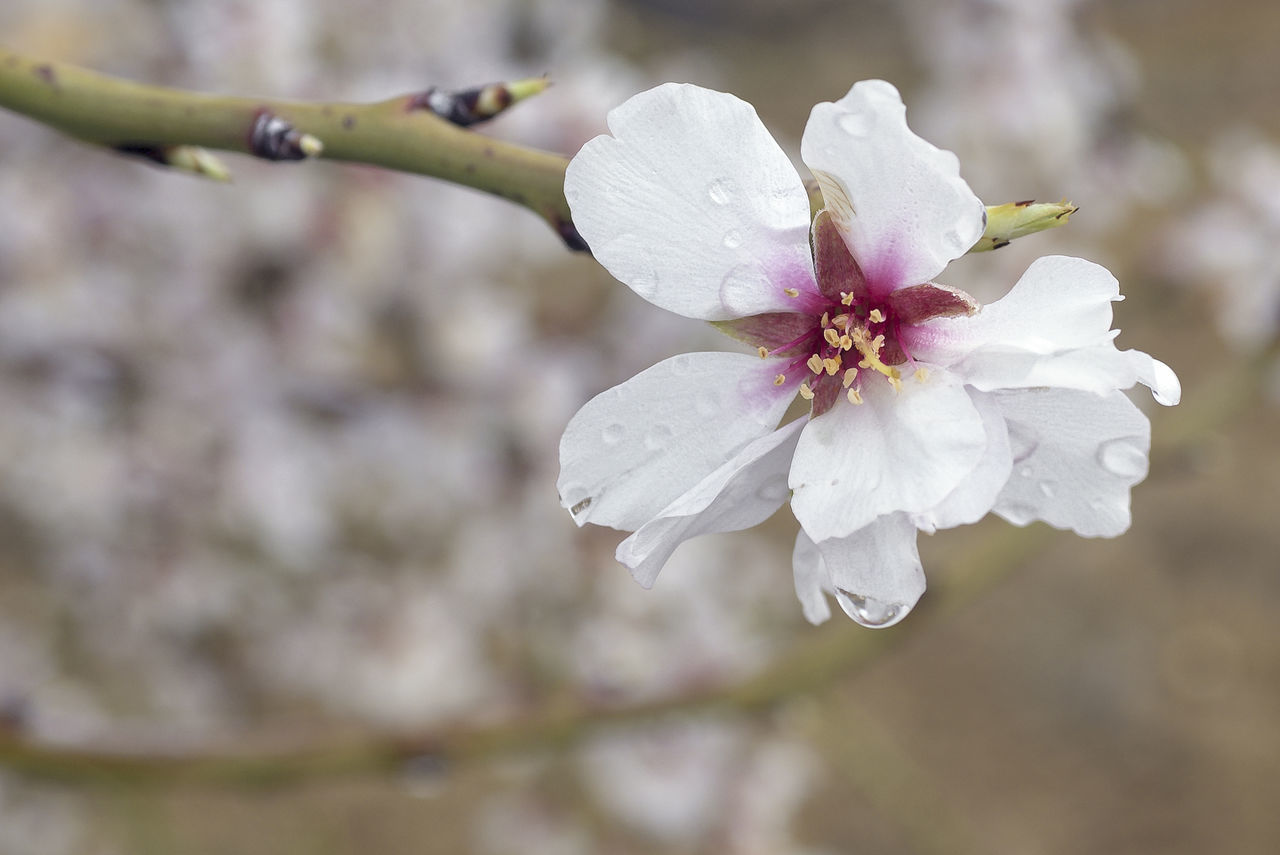 After Rain After The Rain Almond Tree Beauty In Nature Blooming Blooming Flower Blossom Branch Drop Droplet Flower Flower Head Fragility Freshness Growth Nature No People Petal Plant Plum Blossom Pollen Raindrops Water Drops White Color White Flower