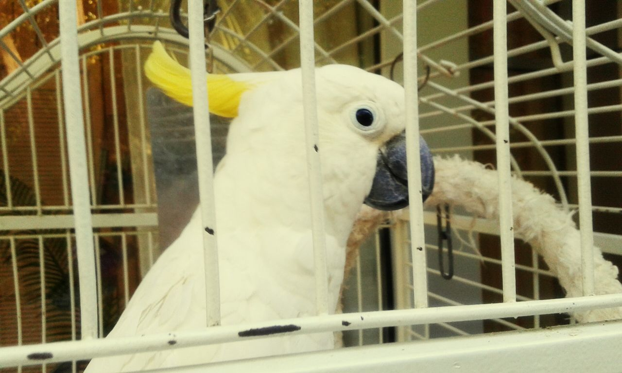 cage, bird, birdcage, animal themes, animals in captivity, metal, trapped, parrot, beak, close-up, one animal, indoors, no people, nature, perching, day, cockatoo