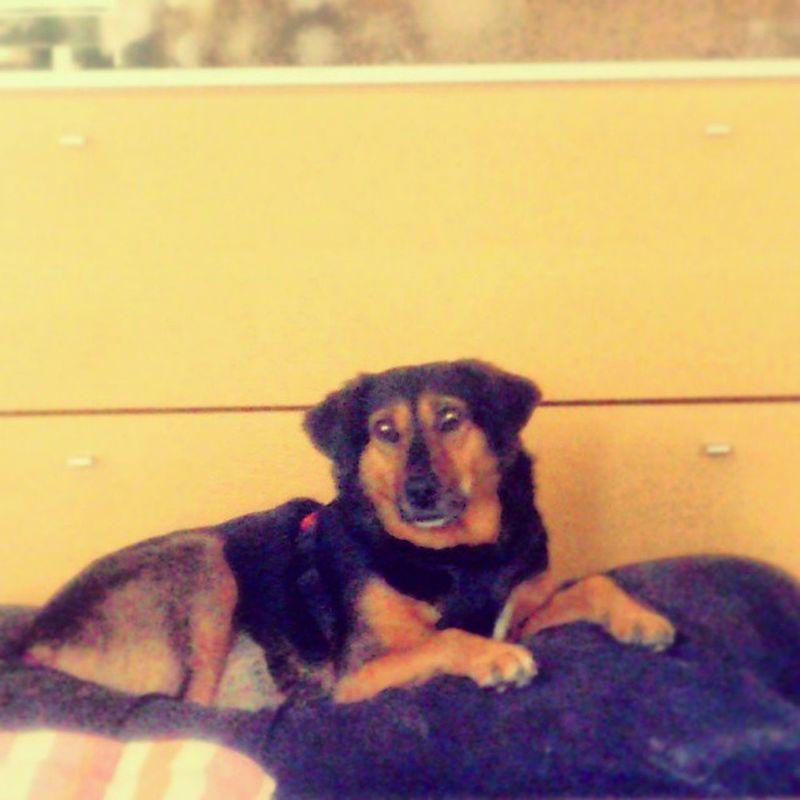 Prinzessin Auf Der Erbse sweetest dog ever love her brown and black she's my princess looks gemütlich zufrieden <3