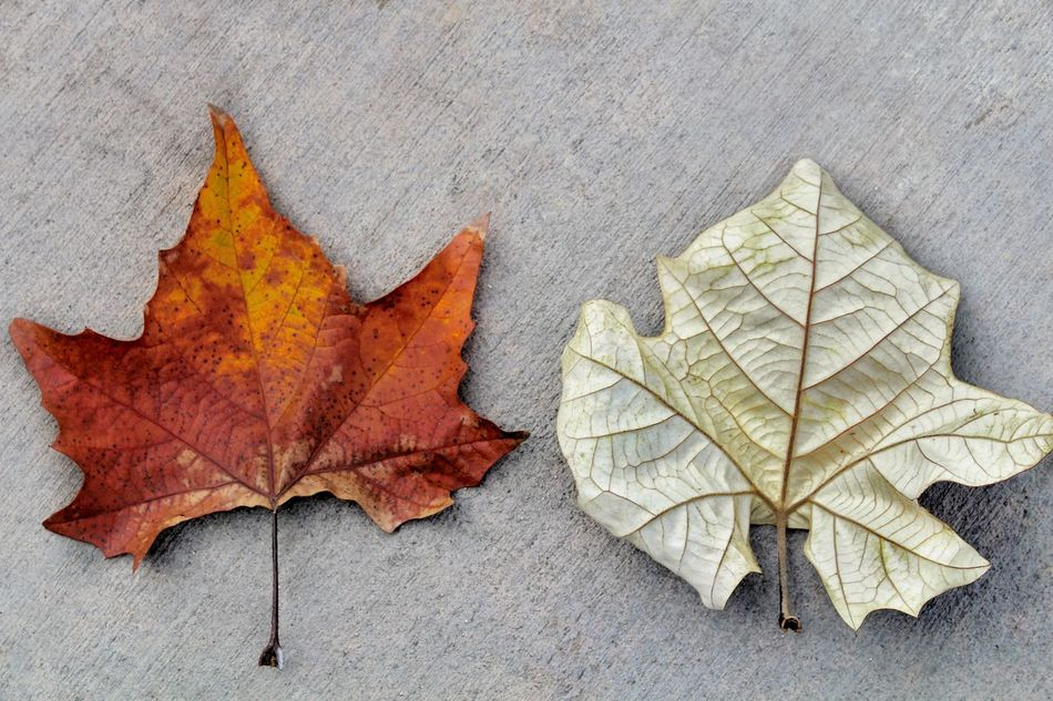 Fallen leaves Leaf Autumn Maple Leaf No People Close-up Day Maple Change Background Environment Fall Fallen Foliage Leafs Leaves Leaf 🍂 Maple Leafs Nature Season  Texture Tree