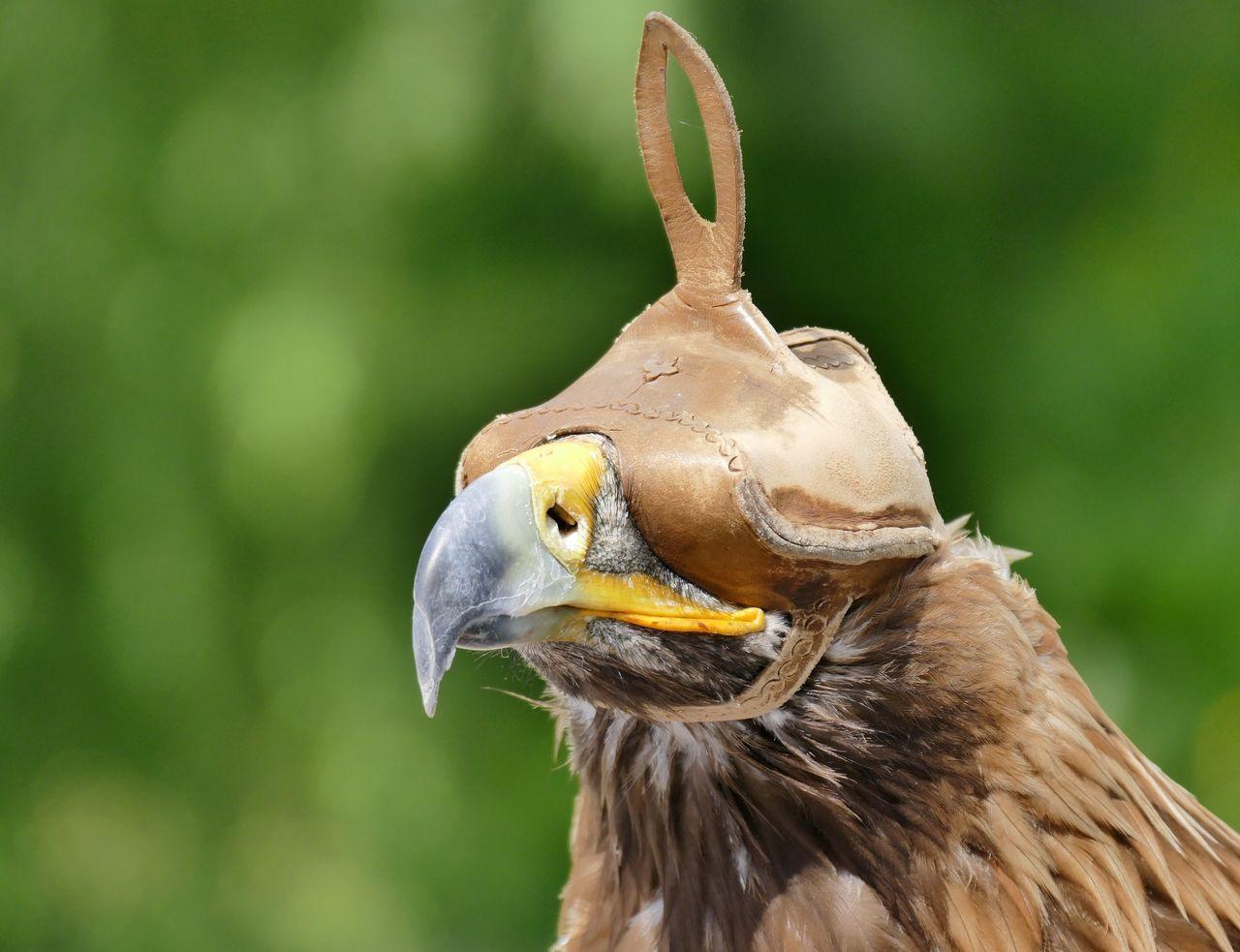 Beautiful stock photos of adler, Animal Themes, Animal Wildlife, Animals In The Wild, Bird