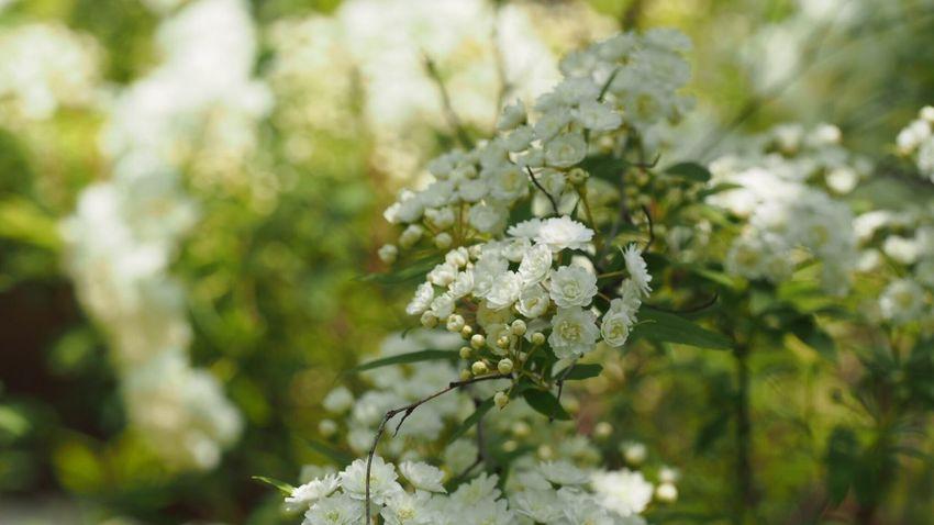 White Flower Spring Light And Shadow EyeEm Best Shots Flowerlovers EyeEm Nature Lover Beautiful Nature Green Nature