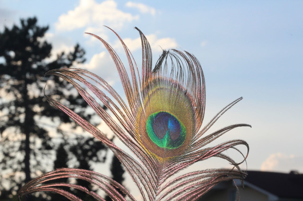 feather, focus on foreground, multi colored, peacock, easter, close-up, no people, peacock feather, day, fragility, outdoors, sky, fanned out