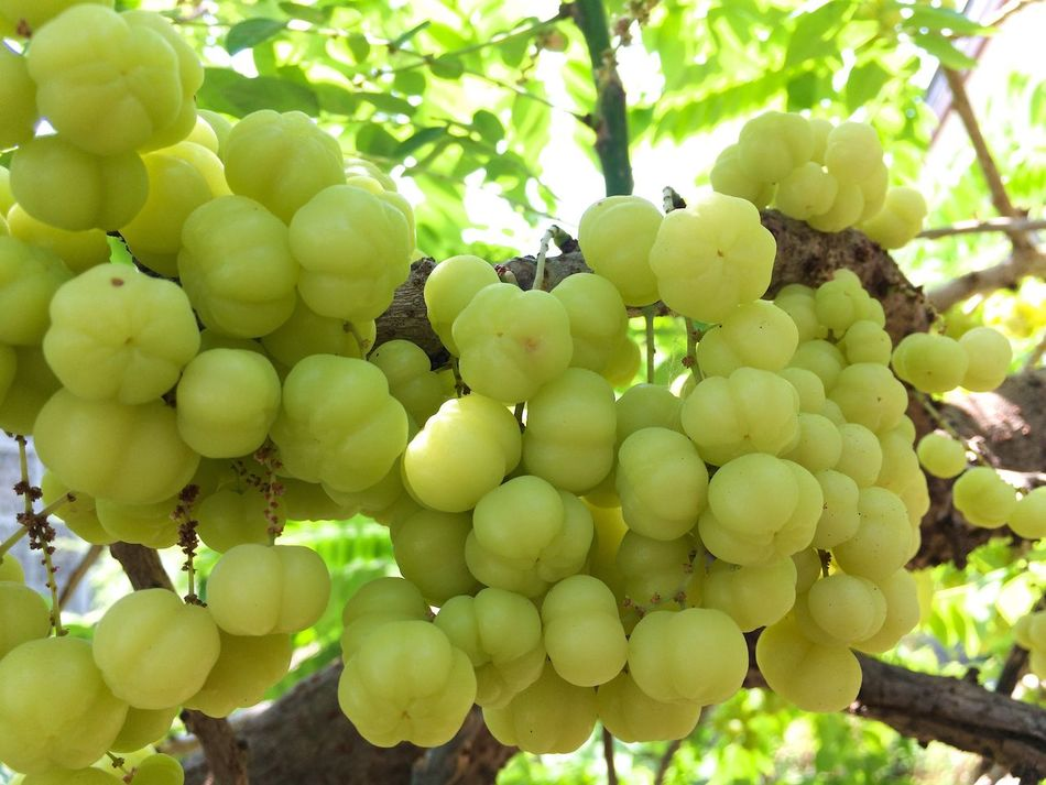 Star gooseberry Fruit Freshness Green Color Healthy Eating Tree Nature Outdoors Low Angle View Healthy Lifestyle Star Gooseberry Vitamin C Sour