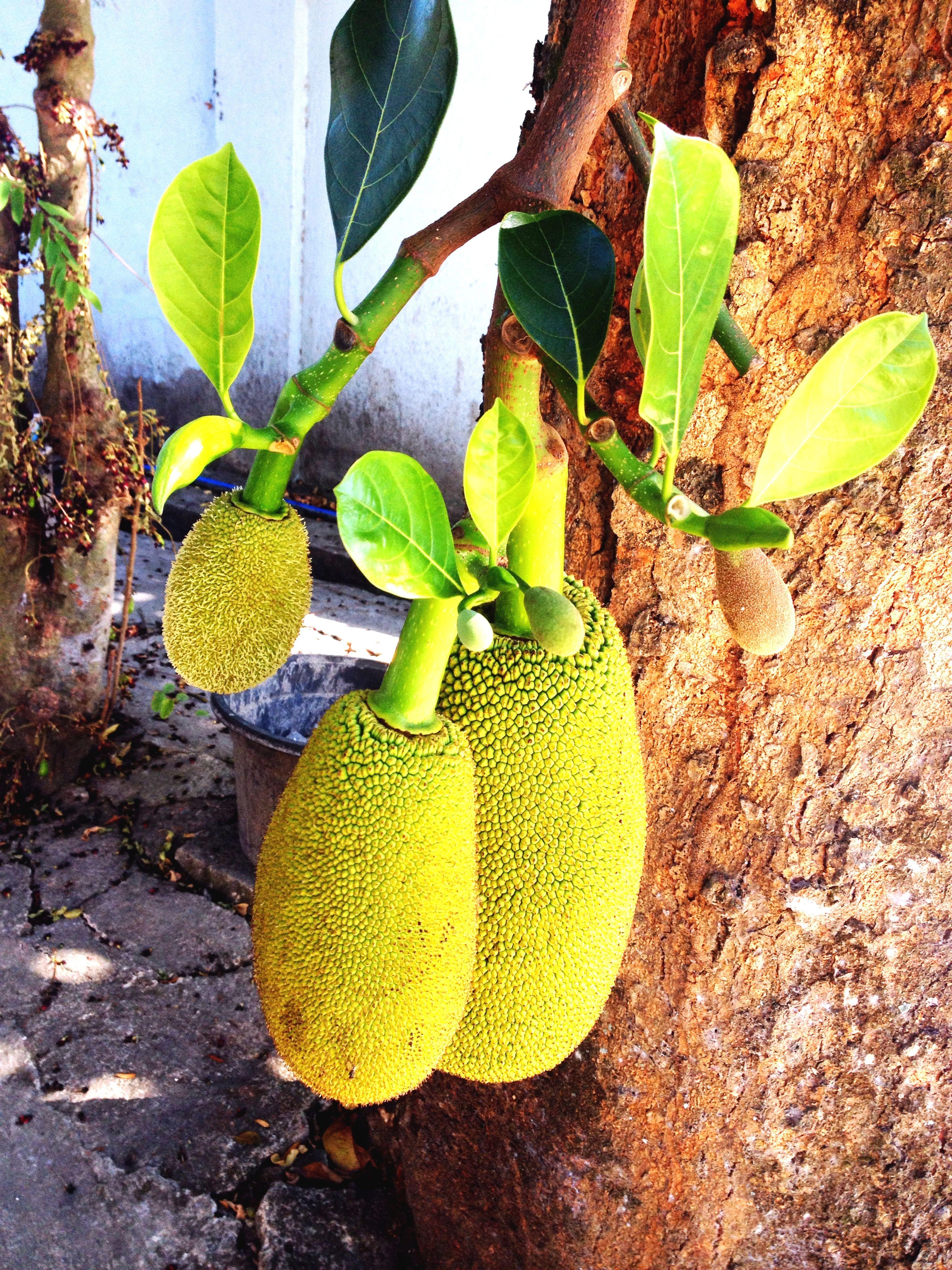 Bang On Target the jackfruit