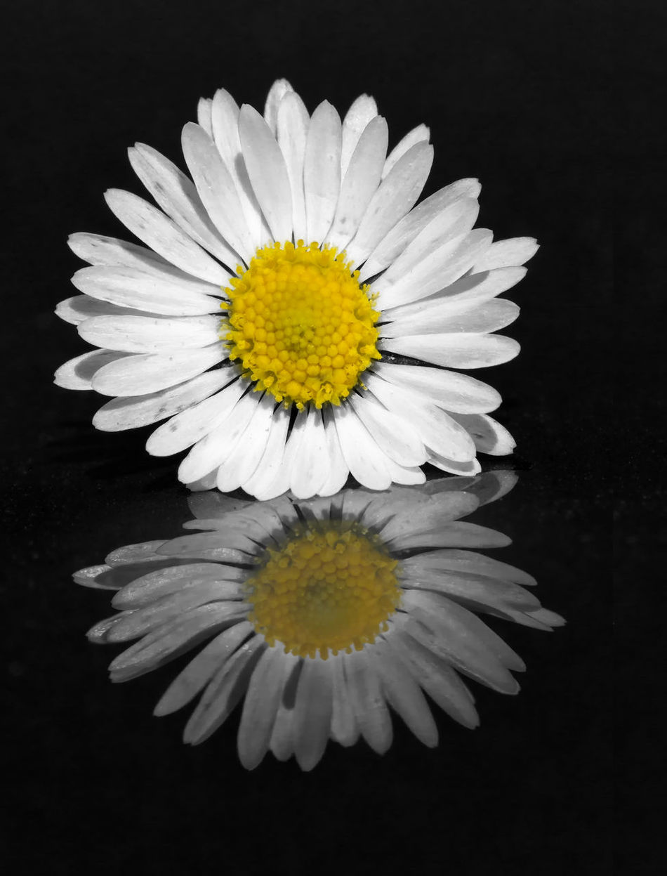Daisy reflection. Beauty Beauty In Nature Black Background Close-up Daisy Day Flower Flower Head Fragility Freshness Nature No People Outdoors Petal Pollen Springtime Studio Shot Yellow
