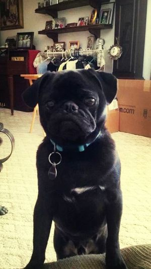 Pug I want a pug so bad Cutest Dog Baby