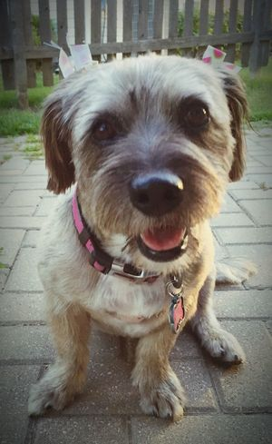 ❤️🐾 My Dog Adorable Terriermix Smile ✌ Pet Photography  Doggy Happy Dog Cute Pets