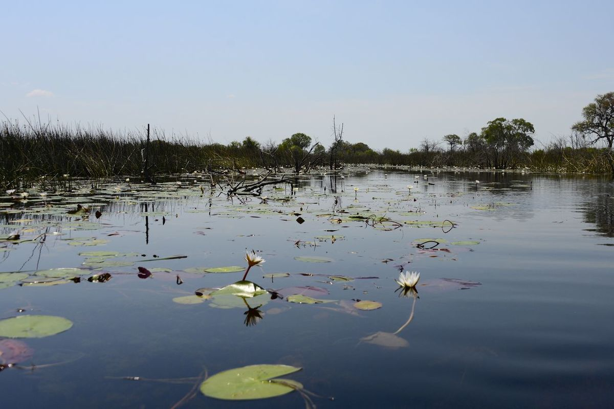 Okavango Delta Botswana Botswana Africa Beauty In Nature Day Floating On Water Lily Pad Nature No People Okavango Delta Okavango River Outdoors Plant Tranquility Water