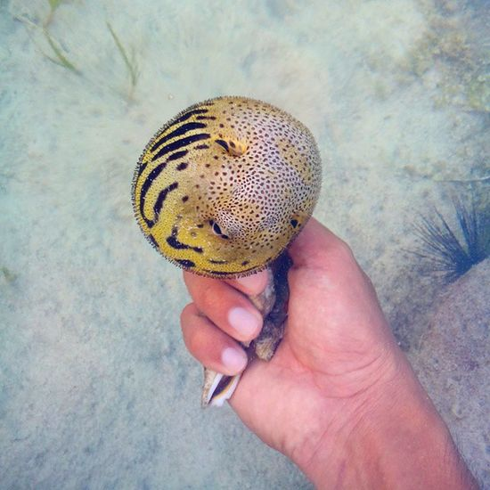 Oh beautiful creature. Have you ever tried playing this? Pufferfish Blowfish Globefish Wellfish marine fish