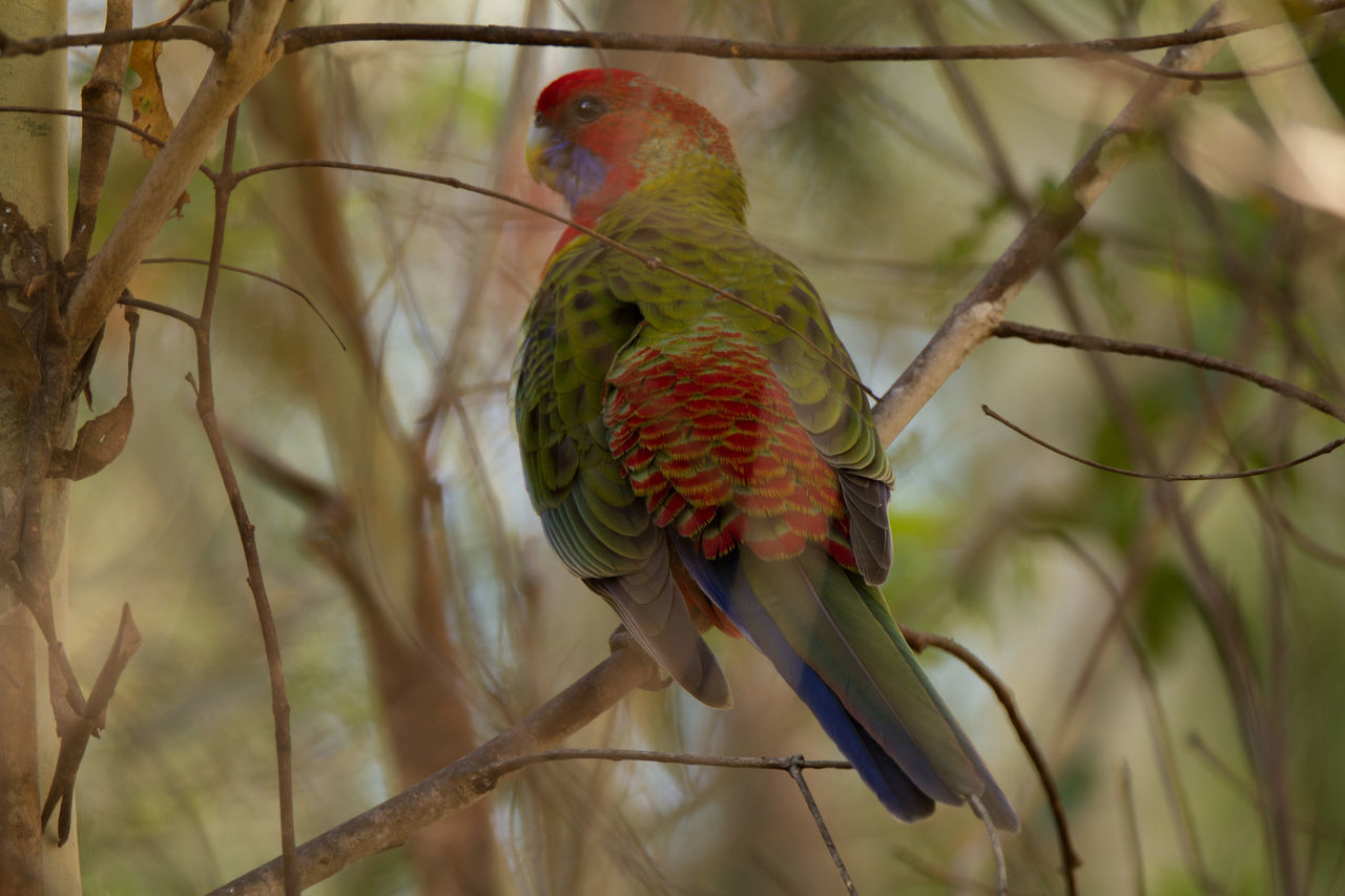 Animal Themes Beauty In Nature Bird Bird Photography Blue-cheeked Rosella Multi Colored Nature Nature Photography No People Parrot Perching Platycercus Elegans Wildlife & Nature Wildlife Photography