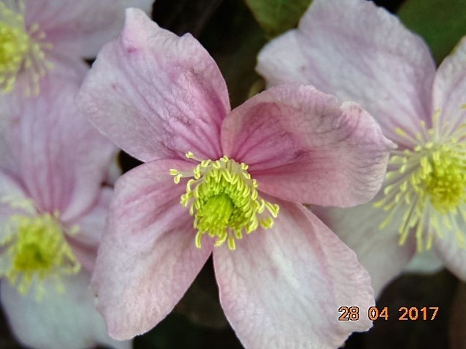 Close-up Beauty In Nature No People Outdoors Pink Color Blooming Clematis Flower St Agnes