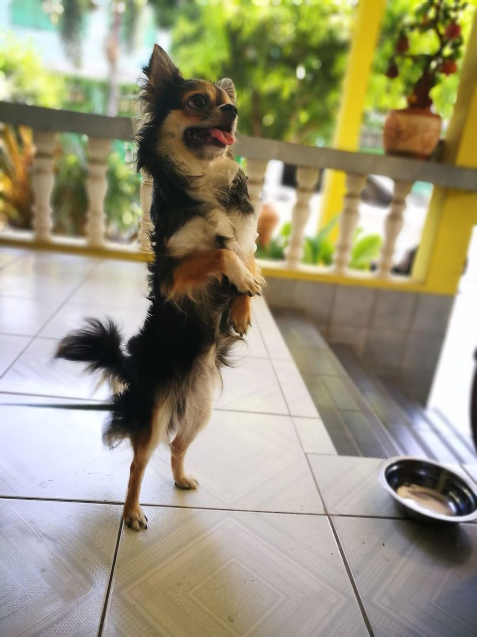 My Dog Love One Animal Pets Stand Up Chihuahua Love ♥