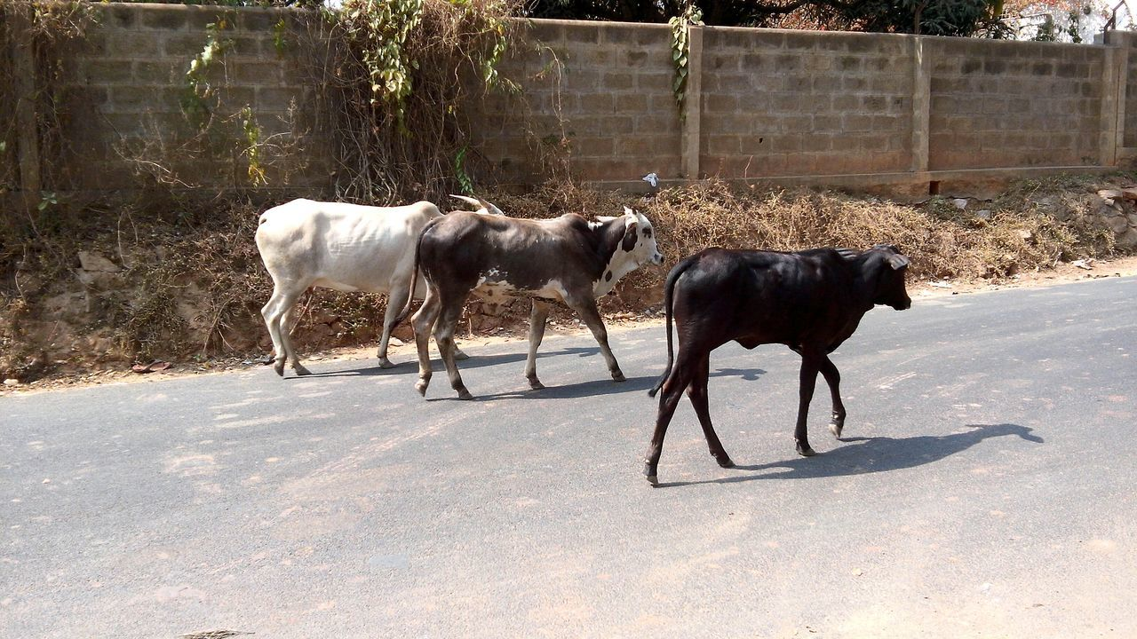 Side View Of Cows Walking On Road