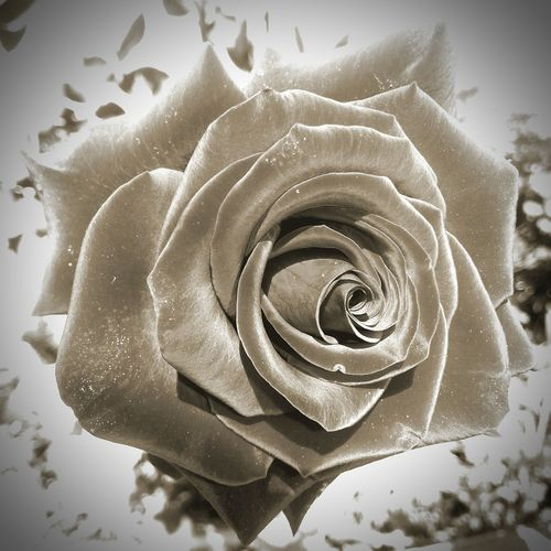 Black & White Rose🌹 Summer ☀ EyeEm Best Edits Captured Moment Eye4photography  Nature_collection Nature Photography Pictureoftheday EyeEm Nature Lover