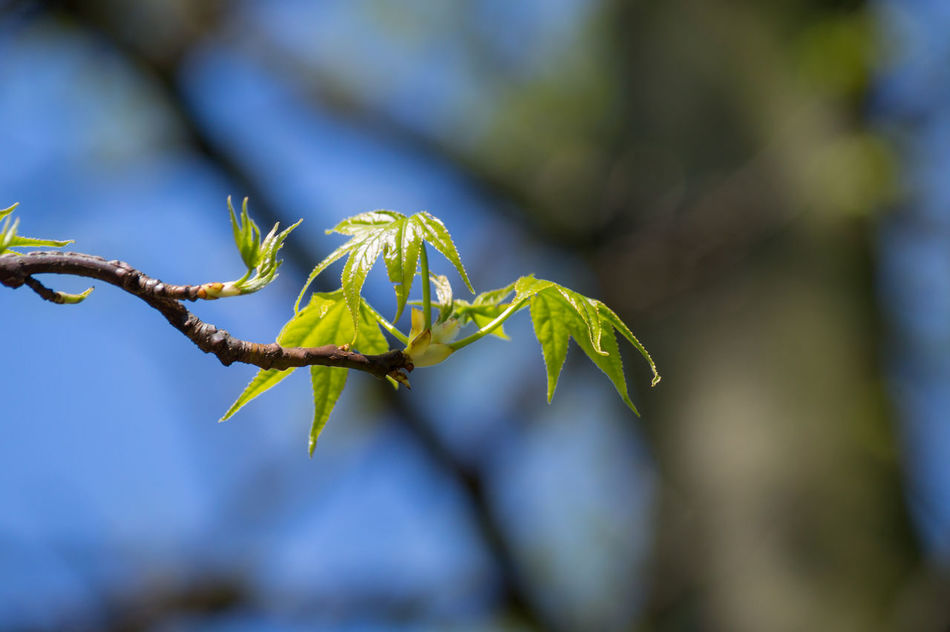 Amberbaum American Sweetgum Branch EyeEm Nature Lover Green Green Leaves Nature Nature_collection Plants Sweetgum Things That Are Green