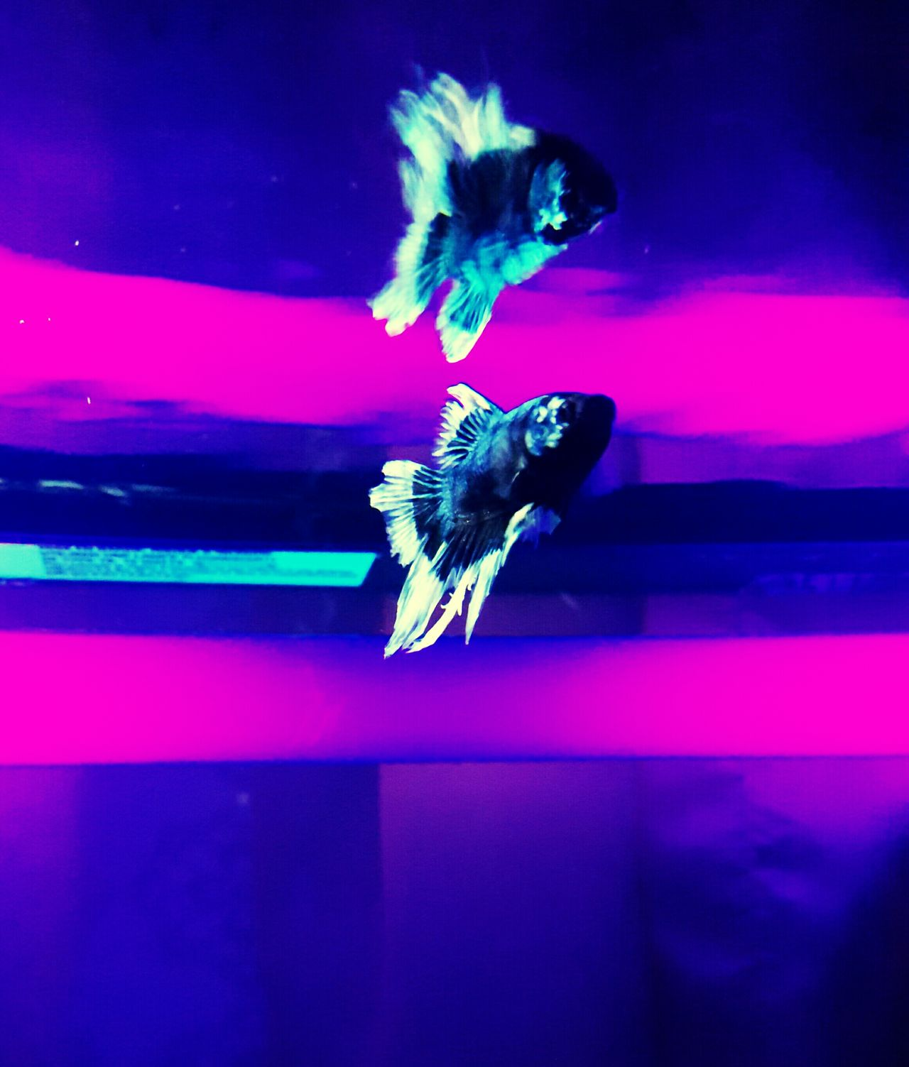 Blacklight Betta Fish Light Reflection Water Reflections Light And Water Fish Water - Collection EyeEm Gallery No Edit/no Filter Light-Play May 2016 Eye4photography  Light In The Darkness Light And Darkness  Light Breaking Reflection_collection Intricate Nature Nature_collection Likes Dailylifephotos Real Photography Phone Camera Pet Photography  Purple Color Tank Life