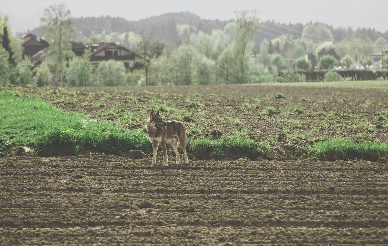 A wild encounter. So, walking on the fields around town, this wolf came straight towards me across the field. I must say i was a little nervous at first, but then i noticed he was calm and not interested that i was there. This picture was shot with a 105 mm lens so i guess the distance between the wolf and me was about 40 meters or so. Anyways, this animal is just magnificient, i love wolves and how they adapt to the everchanging environment. Great animal. Wolf The Great Outdoors - 2015 EyeEm Awards The Storyteller - 2015 Eyeem Awards Fields The Traveler - 2015 EyeEm Awards Capturing Freedom The Moment - 2015 EyeEm Awards Summer DogsSouth From My Doorstep Picturing Individuality Learn & Shoot: Working To A Brief Landscapes With WhiteWall Original Experiences