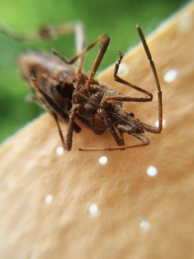 Vertrockneter Freund von mir. Insect Macro Photography