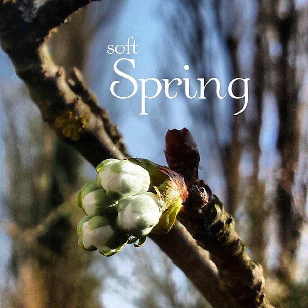 Spring Kirschbl üte