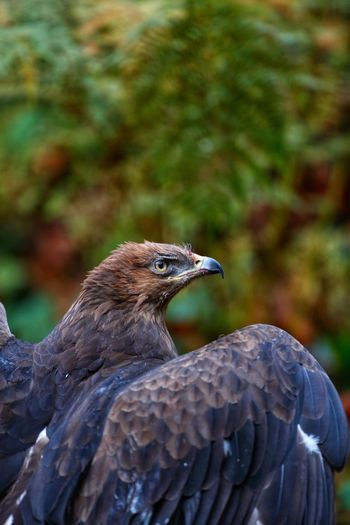 Schreiadler lesser spotted eagle Bird Animal Themes Animals In The Wild One Animal Animal Wildlife Bird Of Prey Day Focus On Foreground No People Outdoors Nature Close-up Perching Portrait Animals In The Wild Lesser-spotted Eagle Clanga Pomarina Bayerischer Wald Lesser Spotted Eagle Schreiadler Hawk - Bird Feather  Nature Autumn